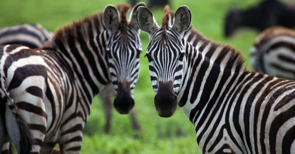 Illegal Pets to Own In the United States: Zebras