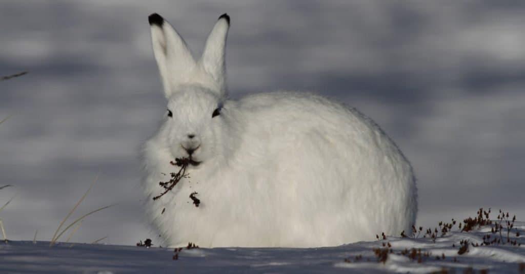 Animales con camuflaje: liebre ártica