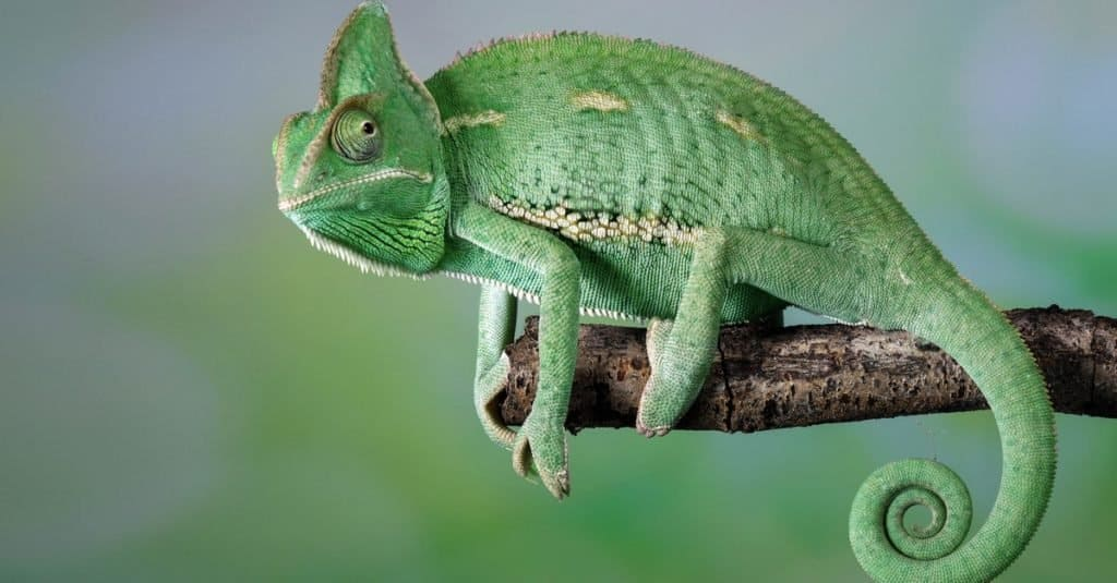 Animals With Camouflage: Chameleon