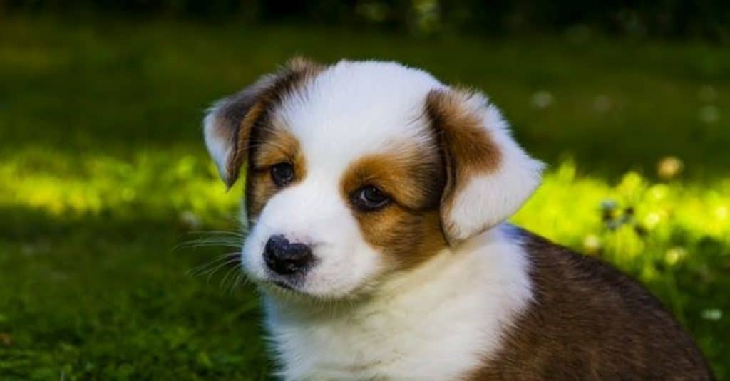 corgipoo puppy standing in the grass