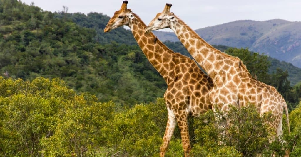 Animales con camuflaje: jirafa