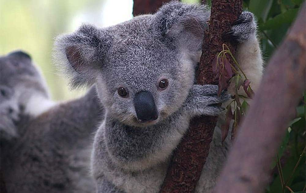 A koala holding on to a tree branch.