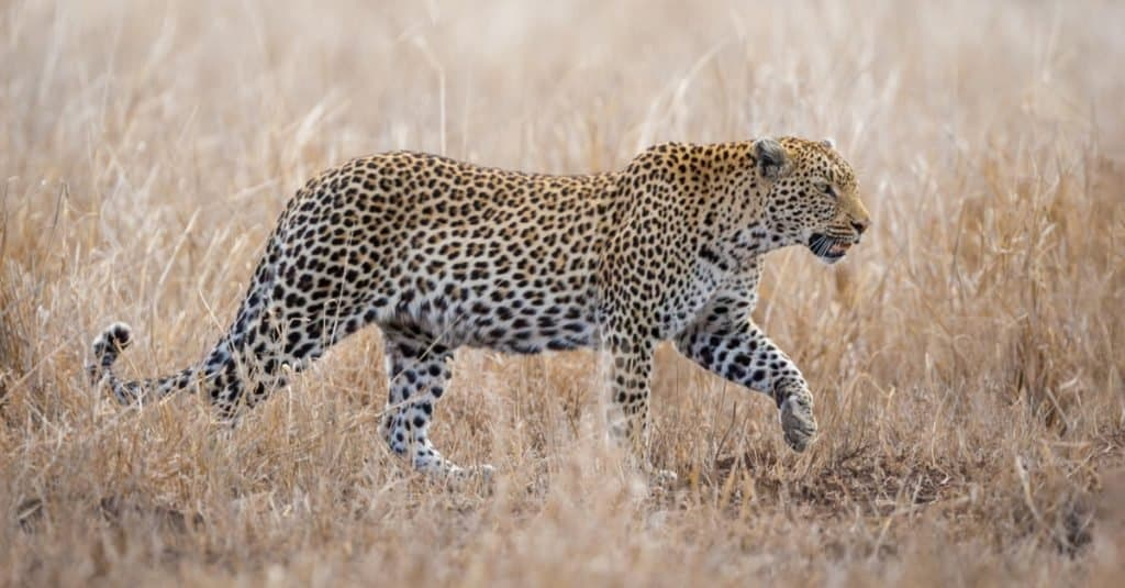 Animals With Camouflage: Leopard