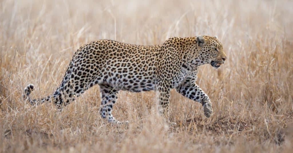 Animales con camuflaje: leopardo