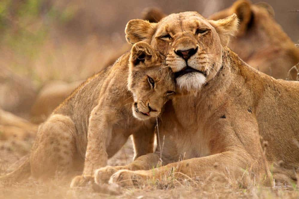 A lion cuddling with her cub on the ground.