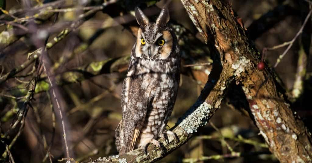 Animals With Camouflage: Long-eared Owl