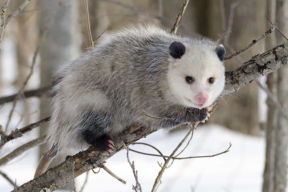 An opossum resting on a tree branch.