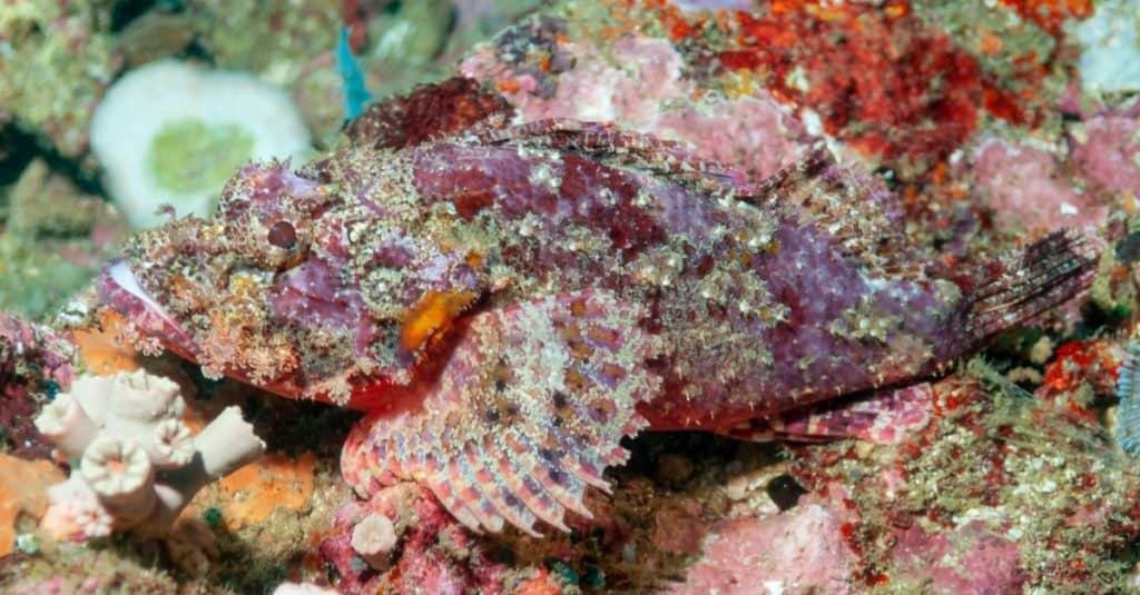 Animales con camuflaje: pez escorpión
