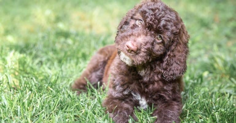 Shepadoodle puppy lying on the grass