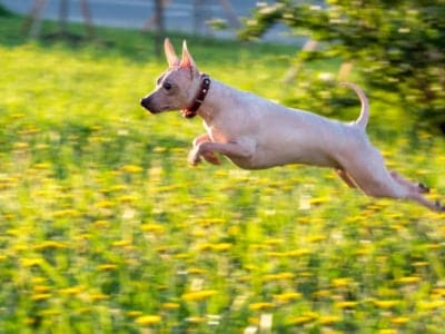 A American Hairless Terrier