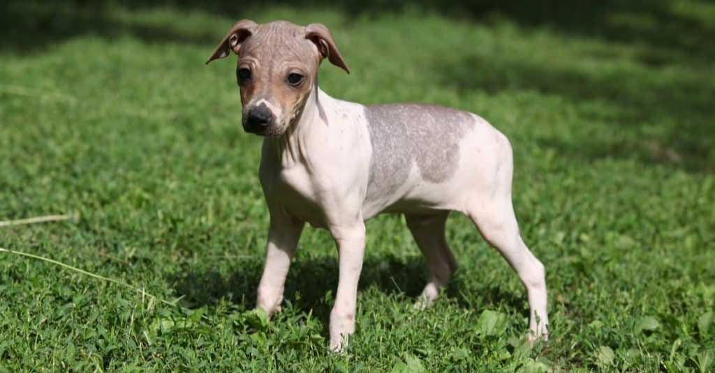 American Hairless Terrier puppy