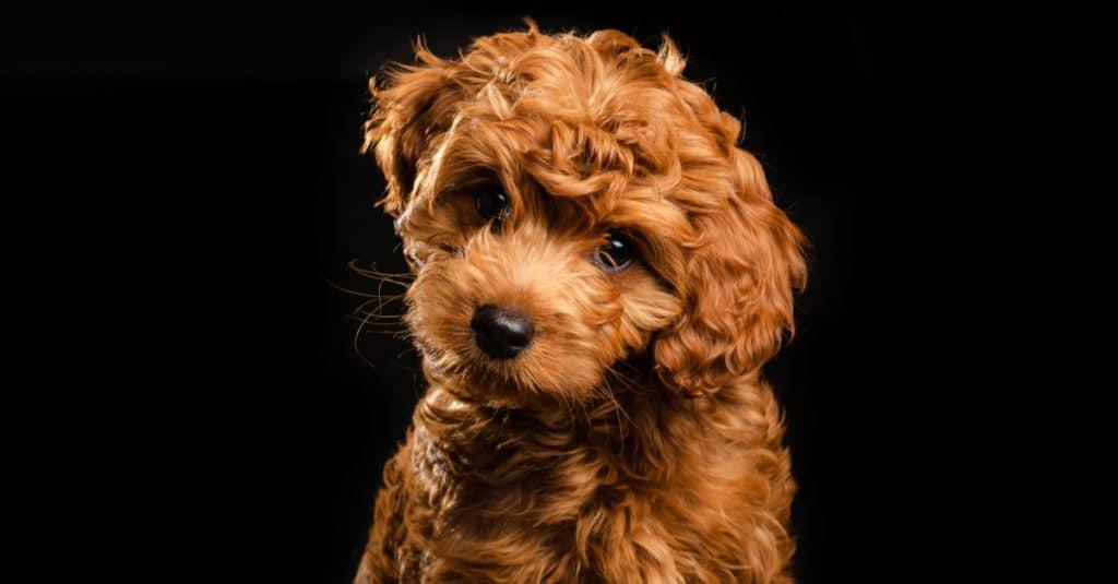 mini labradoodle puppy