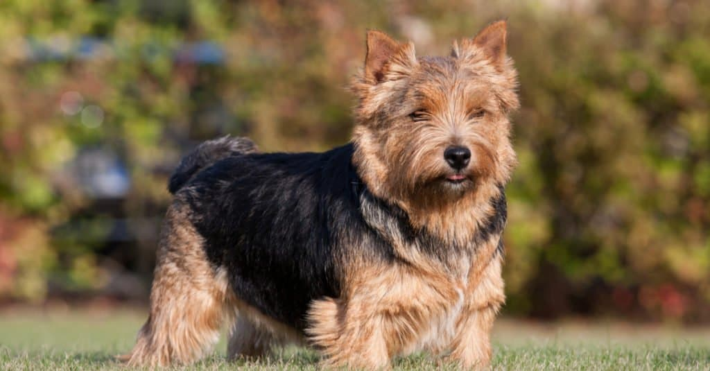 Norwich terrier adult