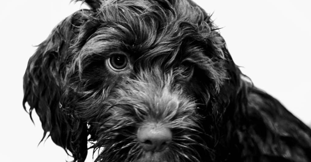 black springerdoodle puppy