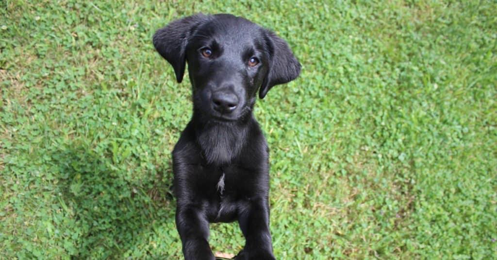 black Goldador puppy playing
