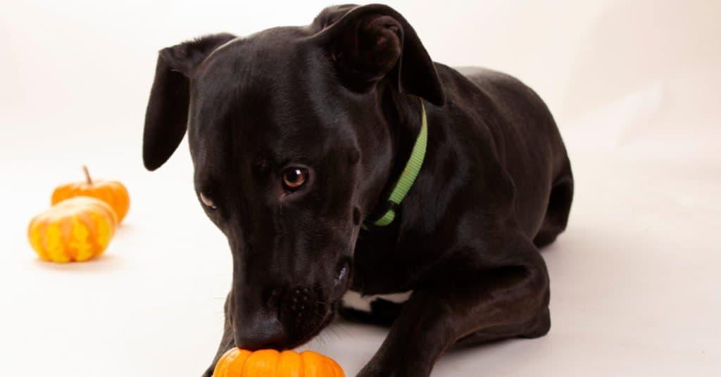 labradane puppy playing with a pumpkin