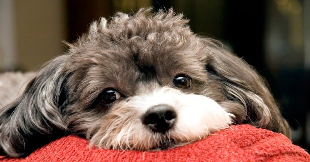 A poogle puppy