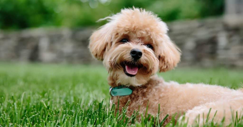 tan mini labradoodle puppy