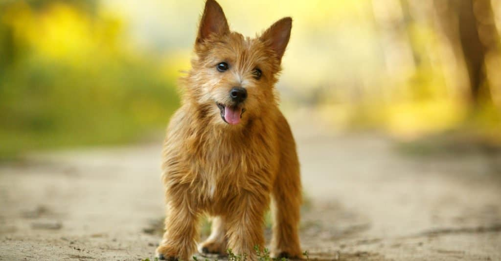 norwich terrier puppy standing on a path