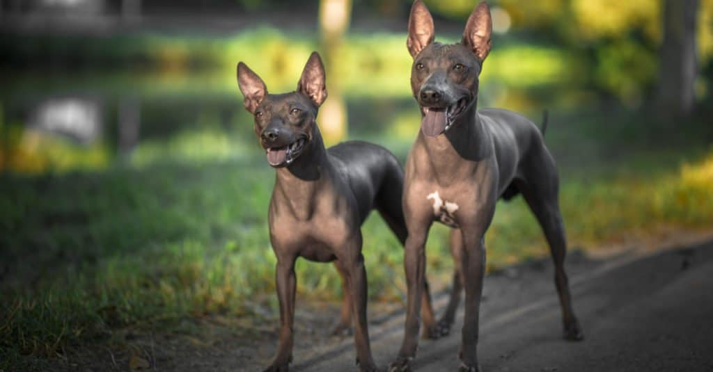 two American Hairless Terrier