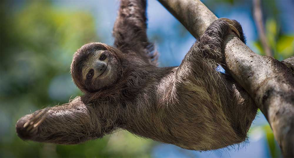 A sloth hanging from a tree branch.