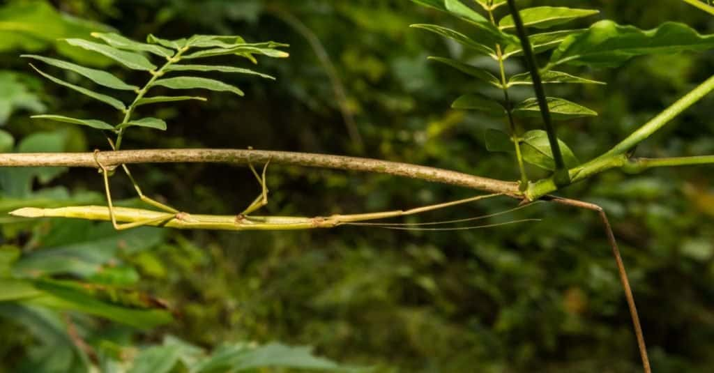 animals with camouflage - walkingstick
