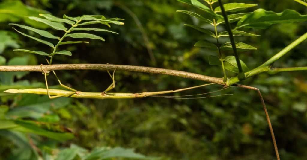 animales con camuflaje - bastón