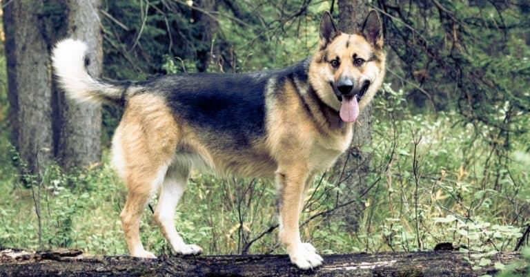 German shepherd and Alaskan malamute mixed breed dog, Alaskan Shepherd, playing in the forest.