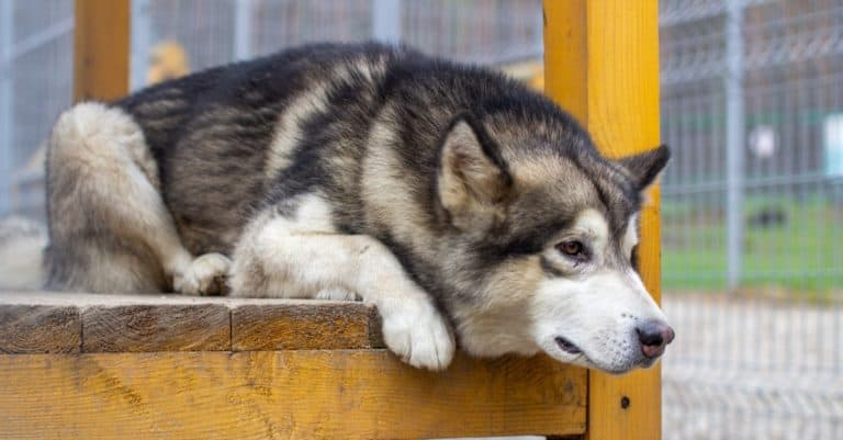 Alaskan shepherd sits in an enclosure