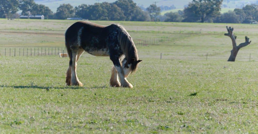 Los caballos más grandes: caballo de tiro australiano