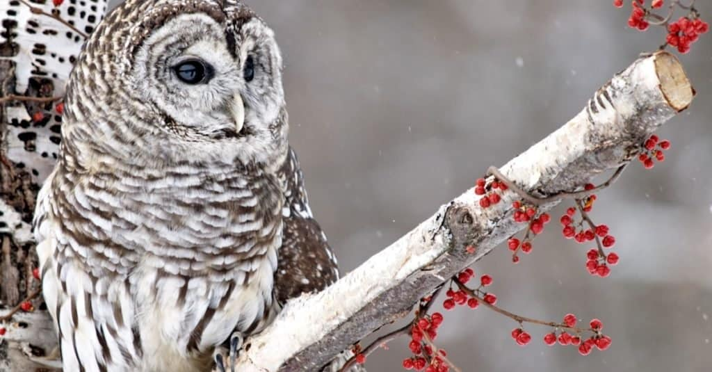 Barred Owl perched in a birch tree surrounded by red berries