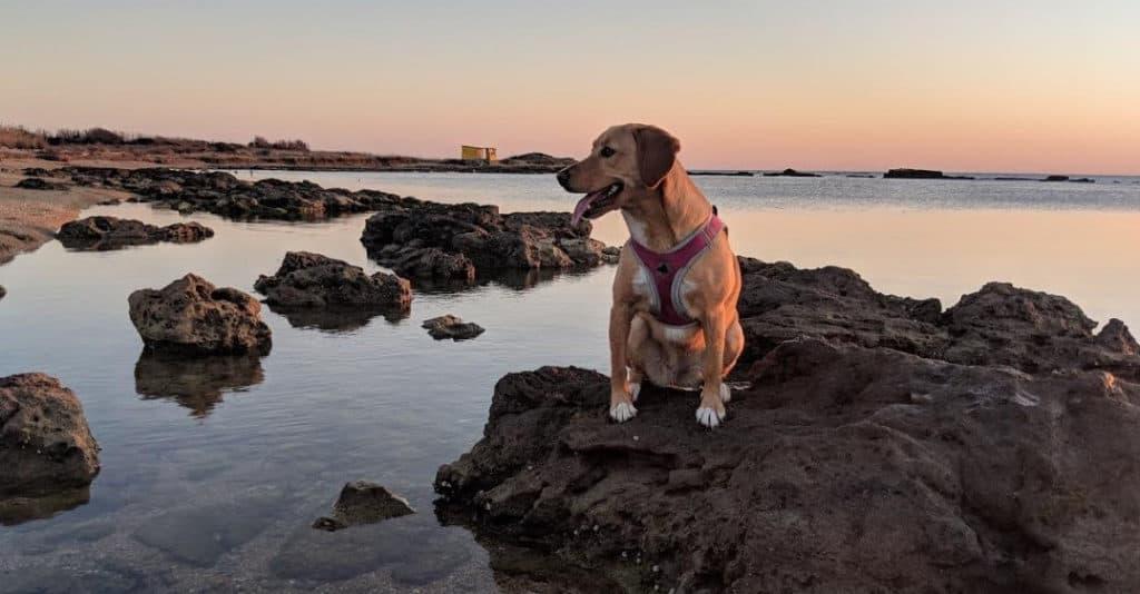 Beagador sitting on a rock