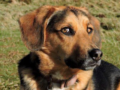 A Beagle Shepherd