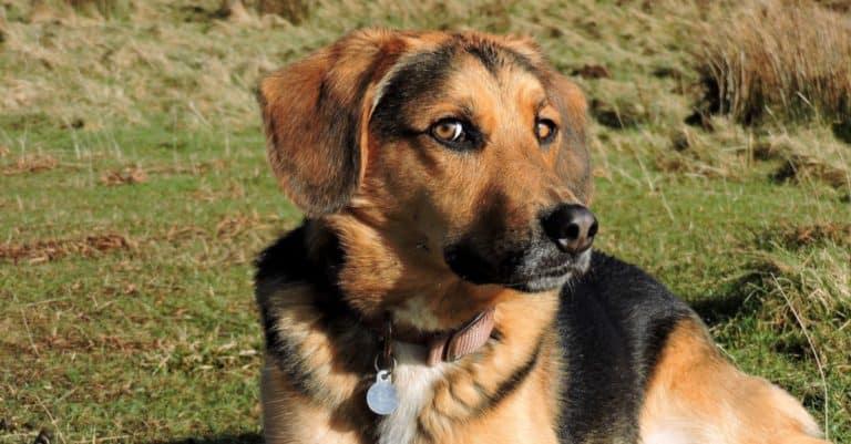 Beagle Shepherd lying in field