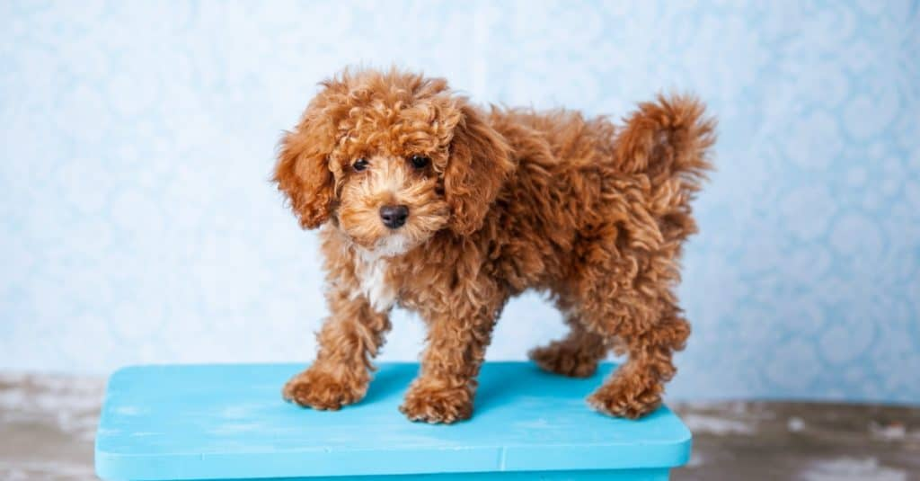 Cute Small Bichon Poodle Bichpoo puppy dog standing on a blue bench
