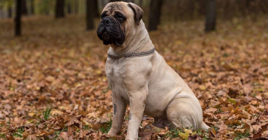 Biggest Dog Breeds: Bullmastiffs