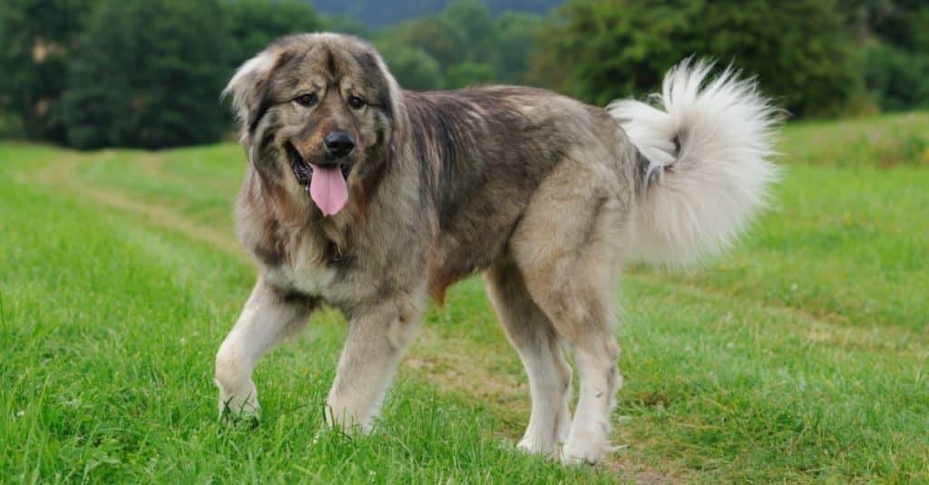 Biggest Dog Breeds: Caucasian Shepherd