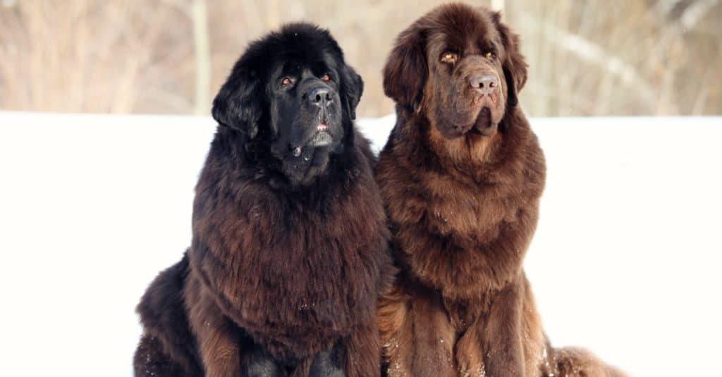 Biggest Dog Breeds: Newfoundland