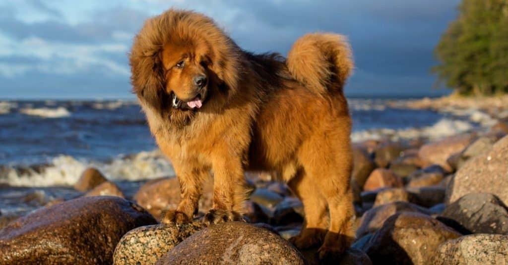 Biggest Dog Breeds: Tibetan Mastiff