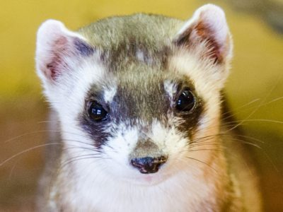 A Black-Footed Ferret