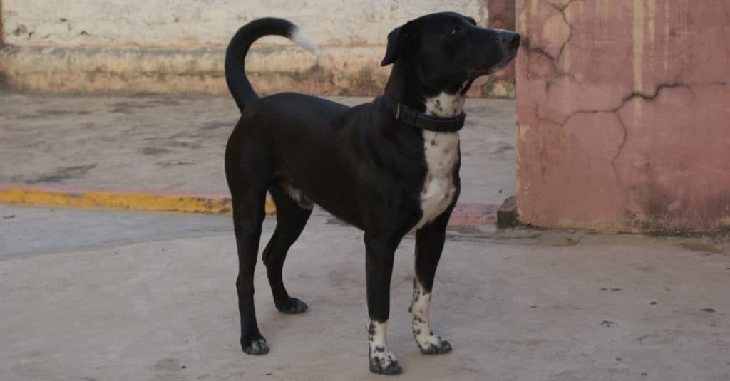 A closeup shot of a beautiful black Borador dog standing in the yard