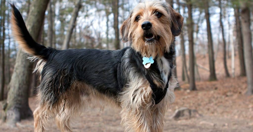 young yorkshire terrier beagle mix dog in the woods / dog park.