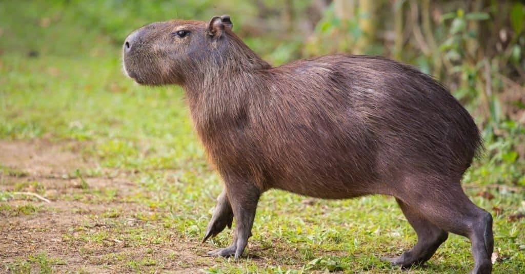 A capybara standing in the grass.