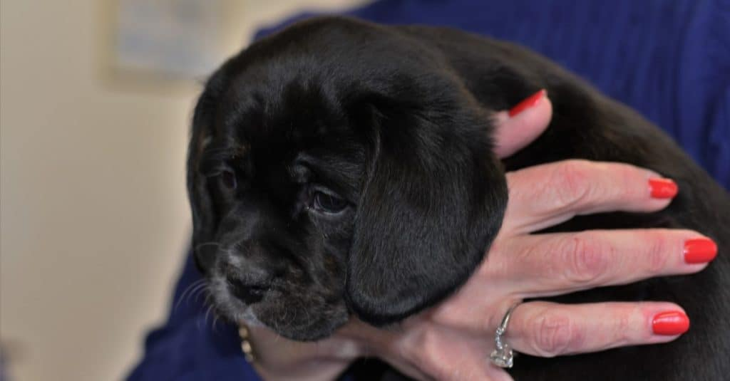 Close up of adorable mixed breed designer dog black Labrador Spaniel (Cavador) puppy
