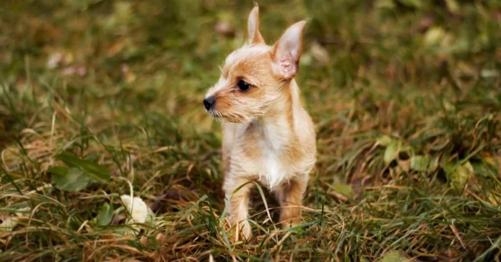 Chorky puppy on grass