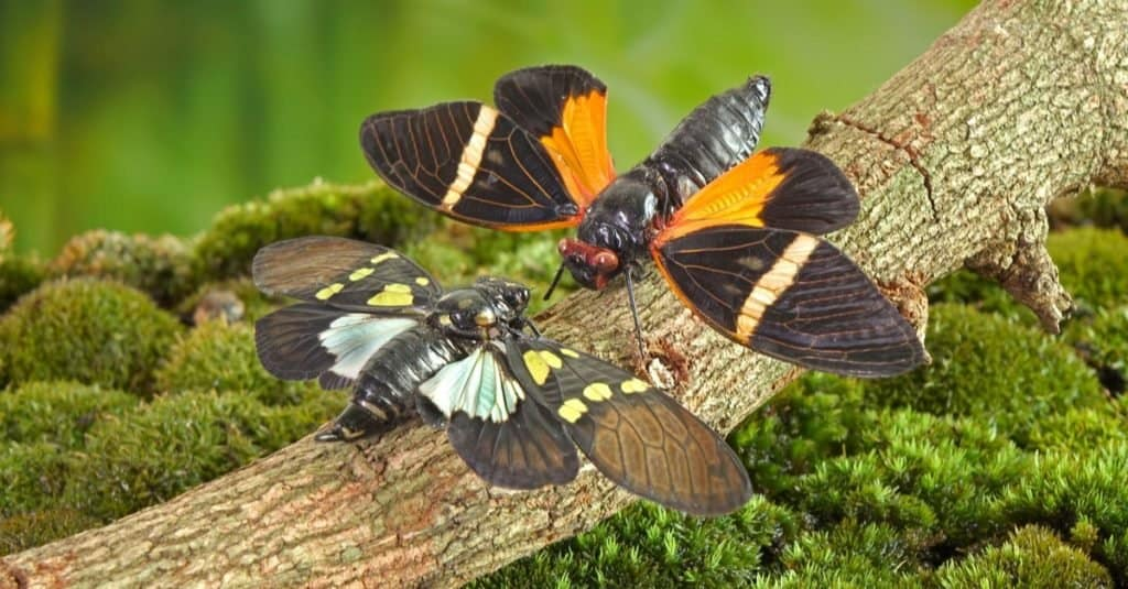 Butterfly cicadas with broad multicolor wings