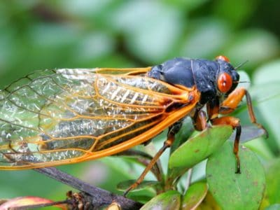A Everything You Need to Know About Cicadas 2021