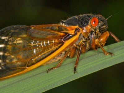 A Why Do Cicadas Only Come Out Every 17 Years?
