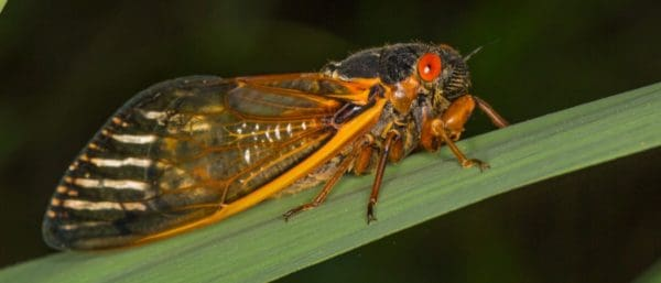 Why Do Cicadas Only Come Out Every 17 Years?