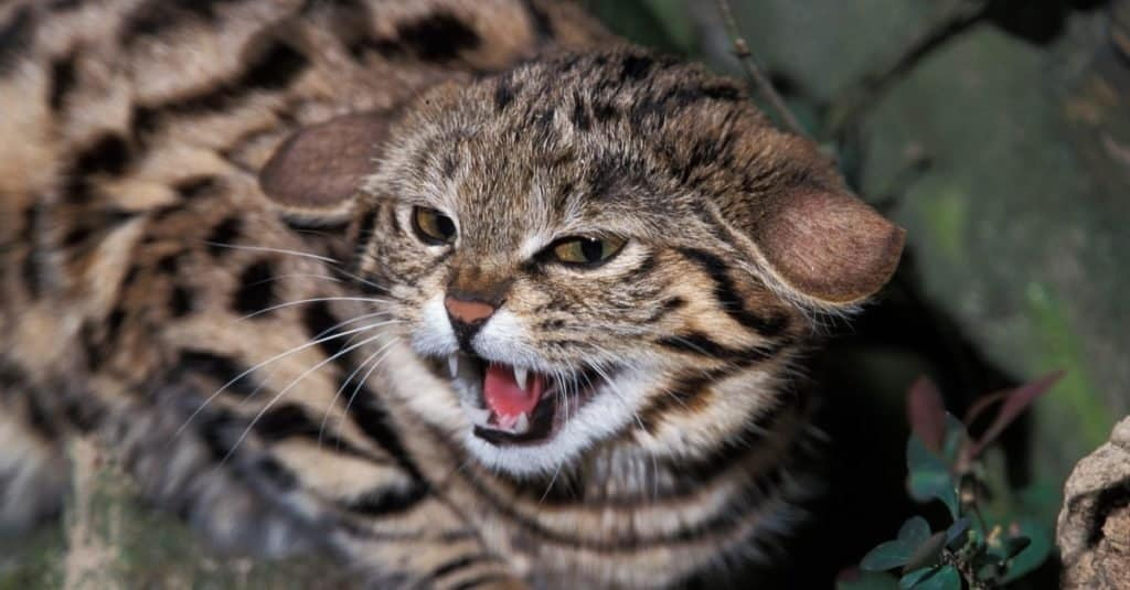 Cutest Animals: Black-Footed Cat